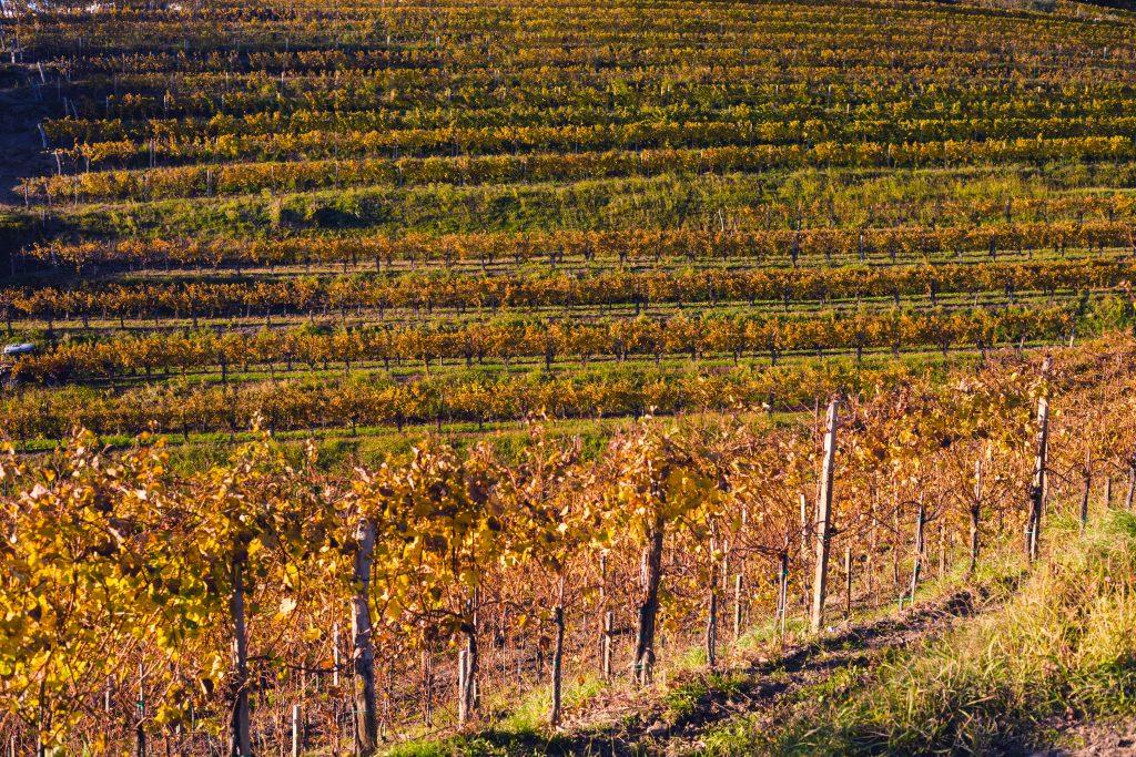 vinogradnistvo_photodean_dubokovic_goriska_brda_